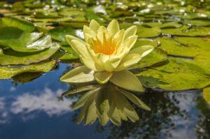 Wasserblume in einem Teich